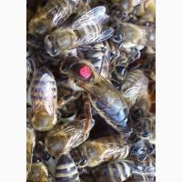 Плідні Бджоломатки Карпатської породи Вучківський Тип F1 2019р