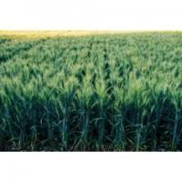 Продам насіння озимої пшениці - Алтіго