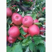 Продам яблука та груші різних сортів високої якості