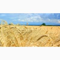 Семена пшеницы озимой Зира Элита, 80-100 ц/га
