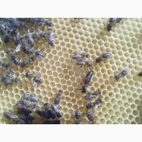 Плодные Пчеломатки Карпатской породы Вучковский Тип F1 Предзаказ 2019