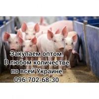 Куплю свиноматку, хряка, выбраковок Украина
