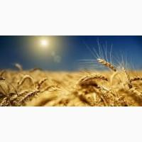 Семена твердой пшеницы КАССИОПЕЯ