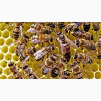 Бджоломатки - Пчеломатки Украинской степной породы 2019г. Хмельницкий