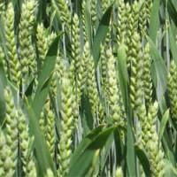 Семена ярой пшеницы: Гренни, Недра, Ранняя, Мироновская, Широкко