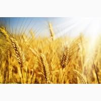 Насіння озимої пшениці Антонівка, урожайність 48, 6-87, 5 ц/га