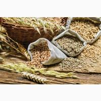 Куплю зернові оптом. Закупівля зернових