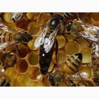 Пчеломатки Карпатка и УС 2019 года Плідні