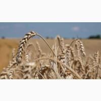 Насіння озимої пшениці Ліра Одеська (реалізуємо від 1т.)