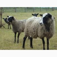 Романівські вівці барани ягнята