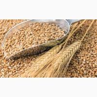 Закуповуємо оптом зернові культури