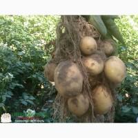Семенной картофель Голландия, 1Р