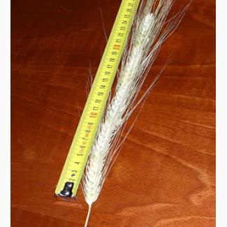 Пшеница канадская сорт Tesla