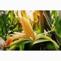 Семена кукурузы Симона ФАО -360, фракция экстра, (Семанс Франция)