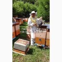 4-х, 5-ти та 6-ти рамкові бджолопакети карпатки доставка по Україні