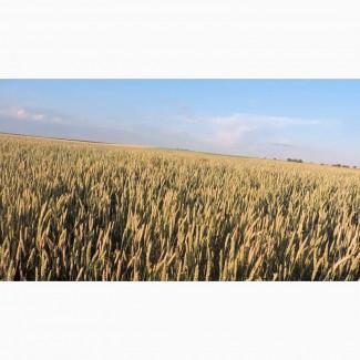 Tesla пшеница дворучка, Канадской селекцыи