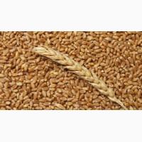 Закупаем пшеницу 2-3 класса