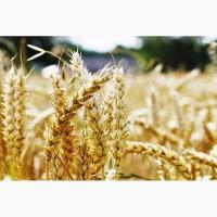 Куплю зернові. Куплю зерновідходи