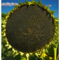 РИМИ 2 A-E (8, 5кг пос.ед) семена урожая 2019г