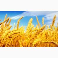 Купуємо пшеницю по всій Україні (2, 3, 4, 5, 6 сорти)