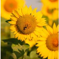 Семена подсолнечника гибрид ЛГ 50505