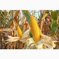 Семена кукурузы, Монблан ФАО-320 (фракция Экстра)