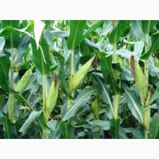 Купим фуражную кукурузу.ОПТ
