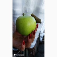 Продам сортові яблучка Голден Голден Крим