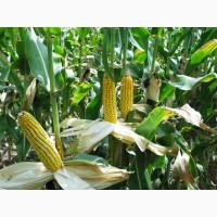 Семена Гибрида кукурузы ДБ ХОТИН (ФАО 280) фр.екстра
