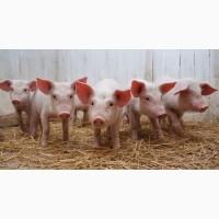 Продам мясных поросят с комплекса. Датская и Испанская селекция ОПТ