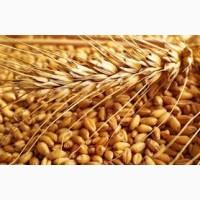 Семена пшеницы РАННЯЯ 93 элита 1 репрод