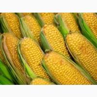 Семена кукурузы Патриция ФАО 300 (экстра фракция)