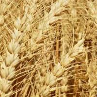Семена озимой пшеницы Благодарка Одесская, 115-120 ц/га