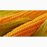 Крупным оптом закупаем кукурузу фуражную