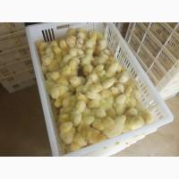 Курчата бройлера Ross-308 (добові)/ Цыплята бройлера Ross-308