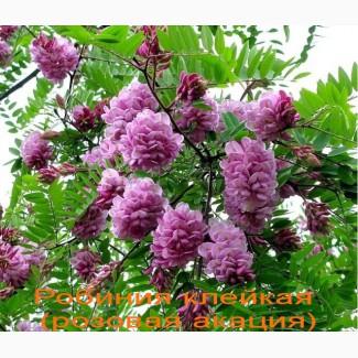Саженцы розовой акации (робиния клейкая)