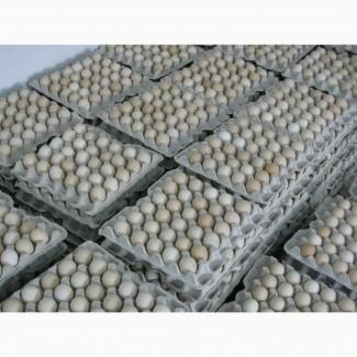 Яйця курячі інкубаційні бройлер Ross-308/Яйца куриные инкубационные бройлер Ross-308
