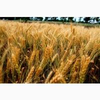 Насіння озимої пшениці сорт Соломія, середньорання, еліта