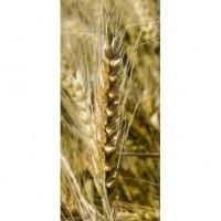 Семена озимой пшеницы Наснага, урожайность 110-120 ц/га