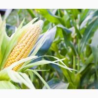 Закупка кукурузы фуражной