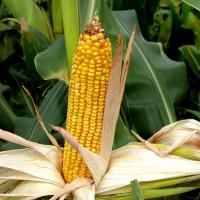 Семена кукурузы Манифик ФАО-300, (фракция стандарт)