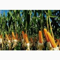Семена кукурузы, Муасон ФАО 330, фракция стандарт, F1