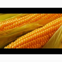 Купим кукурузу (фураж) по всей Украине