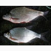 Куплю на постоянной основе речную и ставковую рыбу без посредников. Только Опт. Самовывоз