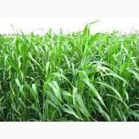 Насіння суданської трави Білявка