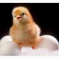 Инкубационные яйца Бройлеров КОББ 500 с разных стран Европы