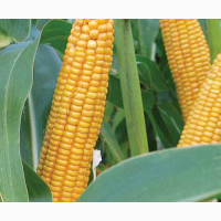 Кукурудза на зерно ЛГ 31377 (LG 31377)