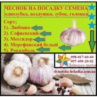 Посевной материал озимого чеснока Украинский так и Зарубежной селекции