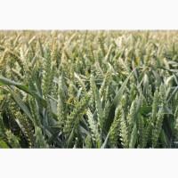 Посівний матеріал озимої пшениці РЕБЕЛЛ (1репродукція)