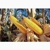 Семена кукурузы ДКС 4178 ФАО 330 (DKC 4178)